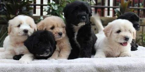 labradoodle puppies nj labradoodle puppies available now for sale adoption from lc new jersey essex adpost