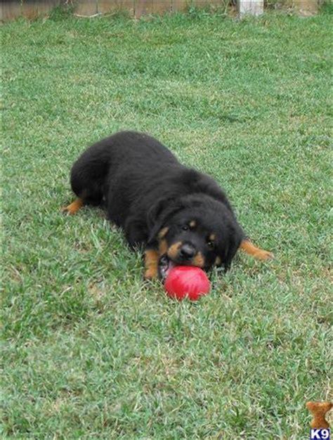 block rottweiler rottweiler puppy for sale block rottweiler females for sale 9 years
