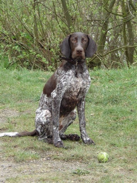 German Shorthaired Pointer Shedding by German Shorthaired Pointer Photos Pictures German