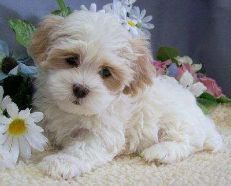shih tzu puppies for sale nz best 25 maltese shih tzu ideas on shih tzu maltese mix shih tzu poodle