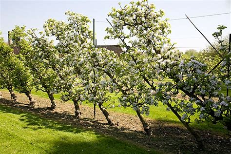 u cordon fruit trees choisir sa forme fruiti 232 re ma du verger