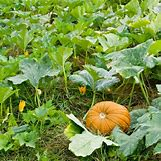 Pumpkins Growing   559 x 559 jpeg 143kB