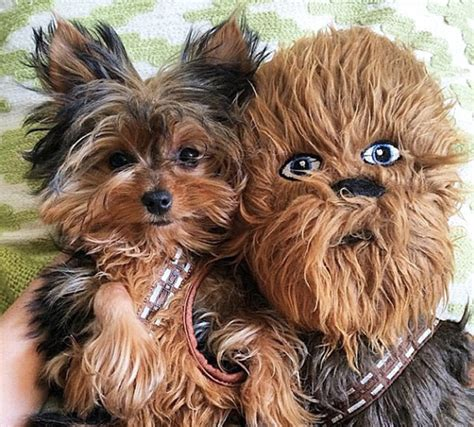 largest yorkie 13 of the dorkiest yorkies the has seen barkpost