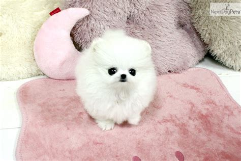 clipped pomeranian for sale meet white princess a pomeranian puppy for sale litle pups