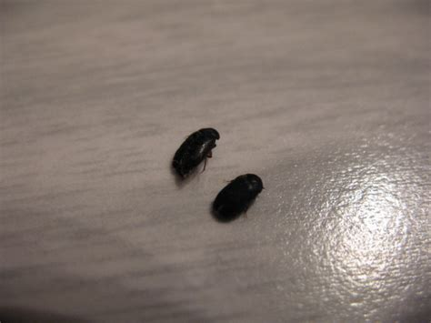 Small Insects In My Home House Bugs 6 Small Black Beetle Like Bug Biological
