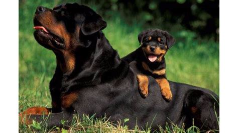 rottweiler as family family rottweiler 4k wallpaper free 4k wallpaper