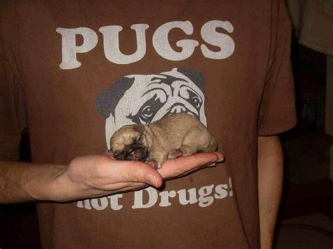 pugs on drugs pugs not drugs pug venus