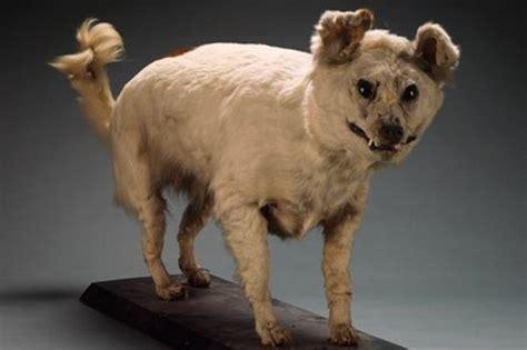 extinct breeds top 10 extinct breeds of dogs wonderslist