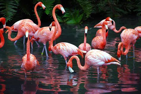 flamingos mac wallpaper flamingo wallpaper for computer wallpapersafari