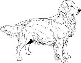 golden retriever coloring pages breed coloring pages