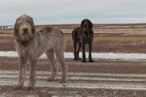 spinone italiano puppies for sale spinone italiano puppies for sale from reputable breeders