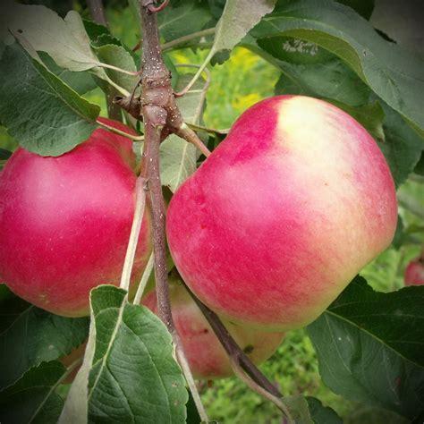 apple zone parkland zone 2a an excellent quality apple