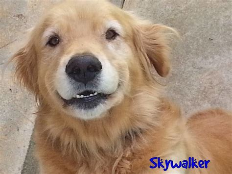 golden retriever rescue nc adopted dogs 2014
