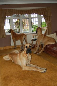 great dane dog houses 1000 ideas about great dane mix on pinterest dane mix great danes and dogs for