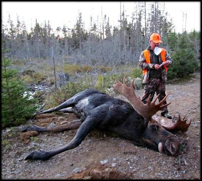 how big is a first big moose