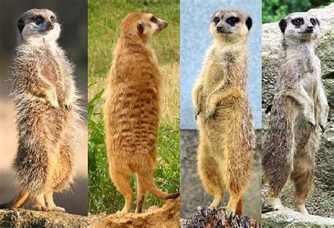 meerkat facts animal facts encyclopedia
