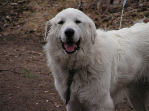 pictures of great pyrenees dogs happy great pyrenees wallpapers and images wallpapers pictures photos