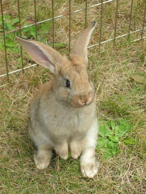baby flemish rabbit dansuehath my best pics