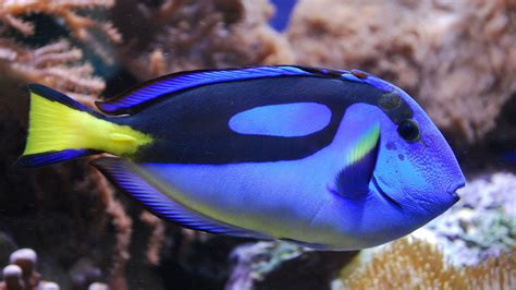 Mini Fish Blue disney s dory fish soon you could get your own