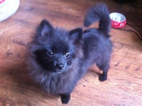 small black pomeranian black puppies www imgkid the image kid has it