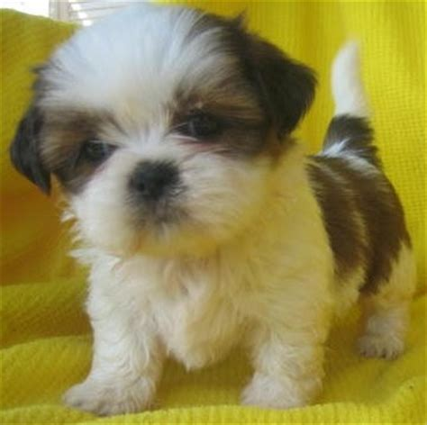 how much are shih tzu dogs 1000 images about shih tzu pictures on shih tzu shih tzus and shih tzu