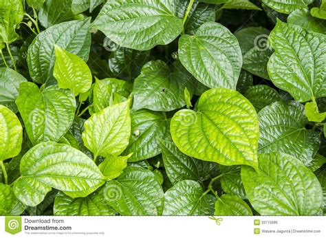 Vege Herbal plu leaves thai name material thai medicinal plants piper sarmentosum roxb royalty free