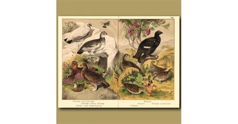 animal figures in the codices classic reprint books grouse ptarmigan and woodcock