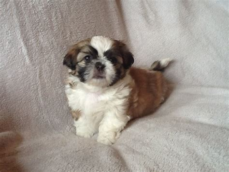 shih tzu for sale glasgow only 1 beautiful half imperial shih tzu left glasgow lanarkshire pets4homes
