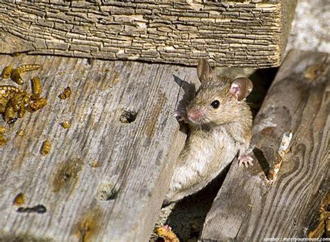 membuat perangkap tikus di rumah 6 cara ampuh untuk membuat tikus tak berani masuk ke rumah