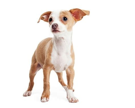 breeds with ears that stand up puppy s ears don t stand up thriftyfun