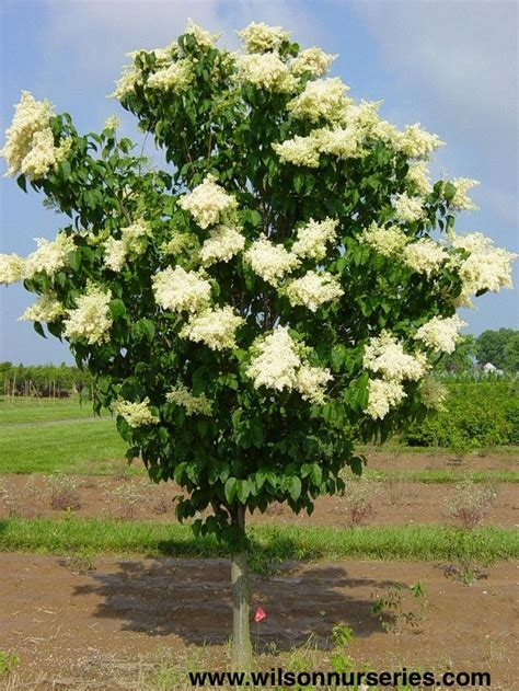 lilac tree information ivory silk japanese tree lilac trees pinterest