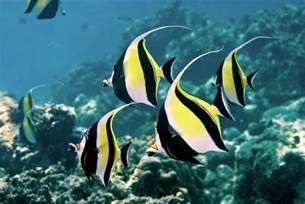 moorish idols the dream fish for aquarists