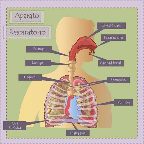 imagenes del sistema respiratorio ingles el cuerpo humano 6 186 t5 2 1 la funci 243 n de la respiraci 243 n