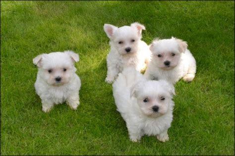 maltese dogs for adoption kc reg adorable maltese puppies for adoption offer
