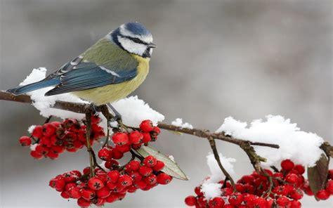 winter bird hd wallpapers