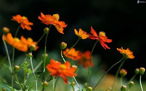 imagenes flores naranjas flores de color naranja