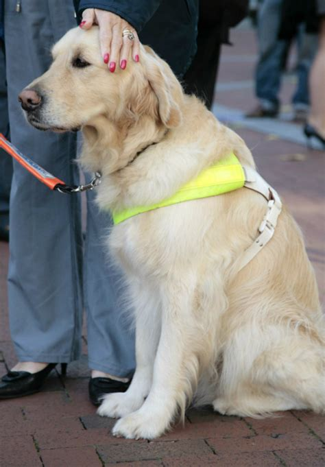 guide dogs guide dogs for the blind puppies