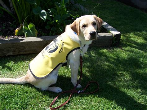 guide dogs of america aauw puppy program june 9