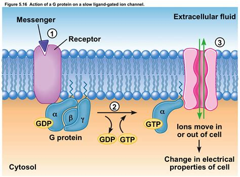 protein receptors g protein linked receptor definition