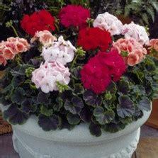 Benih Bibit Biji Bunga Begonia Summer Rainbow F2 Seeds Import bunga pansy clear