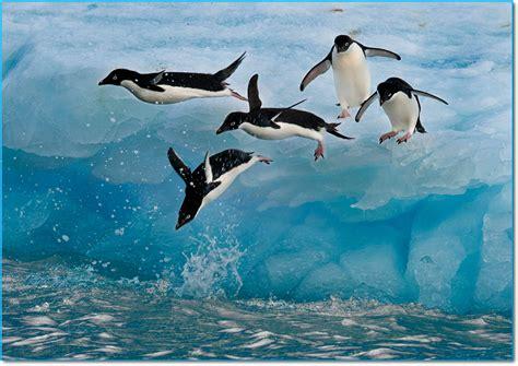 Nuotare o volare? Dilemma da pinguino! - Imperial Bulldog