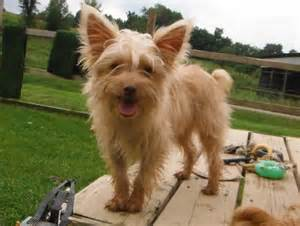 44 Best Images About Gregory S Blondie Other Yorkie S On | 44 best gregory s blondie other yorkie s images on