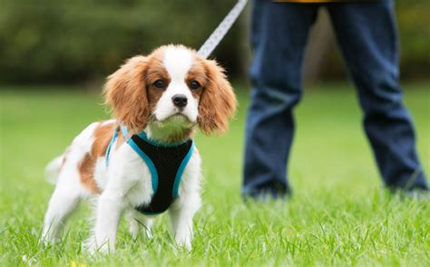 how to leash a puppy how to teach a puppy to walk on a leash american kennel club