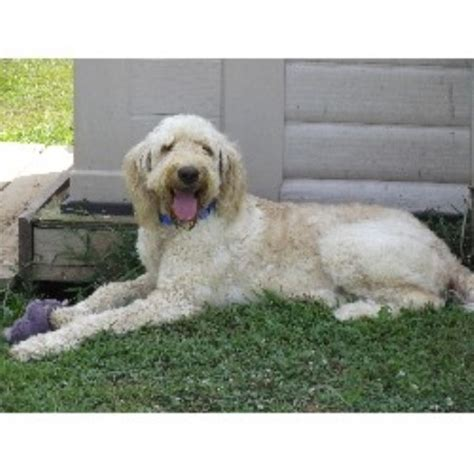 goldendoodle puppies for sale in wv shelley goldendoodle breeder in ravenswood west virginia