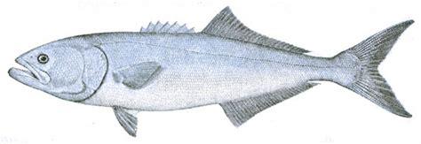 file pomatomus saltatrix jpg wikimedia commons