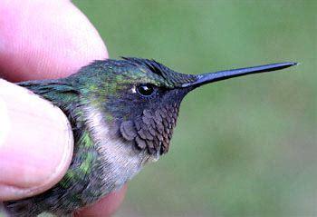 hummingbird external appearance ageing sexing