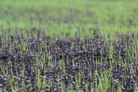 semina tappeto erboso come seminare e curare il prato self tutto il mondo