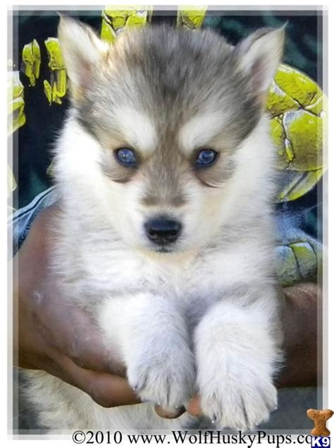 german shepherd siberian husky mix puppies german sheperd siberian husky mix animals