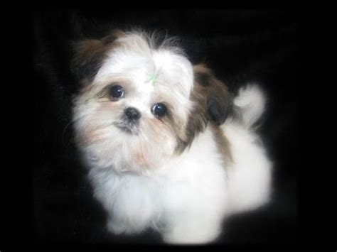 tea cup shih tzu puppies teacup shih tzu puppies shihtzu pups cutiest baby pet puppy compilation