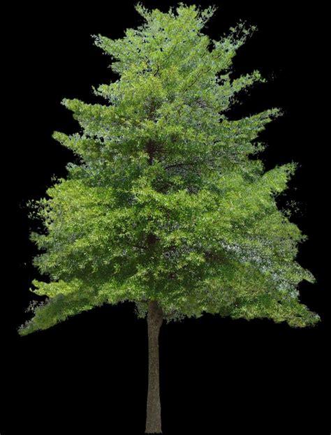 small tree texture hazel tree small trees lugher texture library